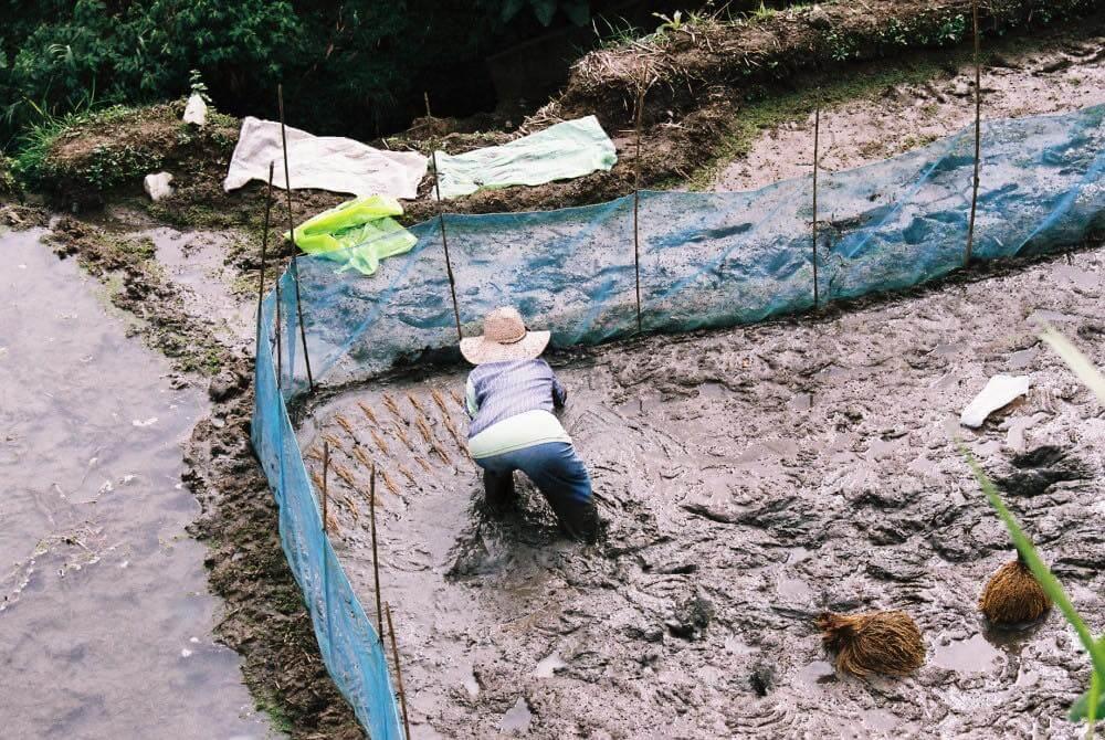 フィリピン、バナウェ。泥を慣らし、稲穂を並べていく